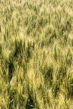 Barley field before harvest Royalty Free Stock Photos