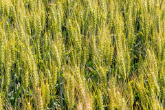 Barley field before harvest Stock Photo