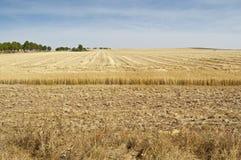 Barley field harvested Stock Image
