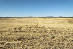 Barley field harvested at sunset Royalty Free Stock Photo