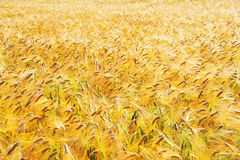 Barley field (Hordeum Sativum) Royalty Free Stock Photography