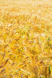 Barley field (Hordeum Sativum) Stock Photography