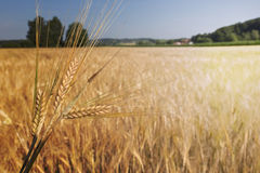 Barley field (Hordeum vulgare) with sun light Stock Image