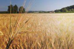 Barley field (Hordeum vulgare) with sun light. Barley field (Hordeum vulgare) in warm light Stock Image