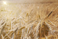 Barley field (Hordeum vulgare) with sun Stock Photo