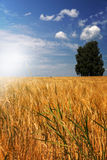 Barley field (Hordeum vulgare) with tree Stock Photo