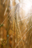 Barley field (Hordeum vulgare) Royalty Free Stock Photo