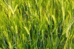Brew Barley Royalty Free Stock Photography