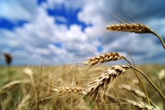 Free Barley Field In June. Barley With Ears Ready For Harvesting. Royalty Free Stock Photos - 119707828