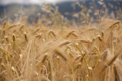 Free Barley Field In Tibet Stock Images - 33863844