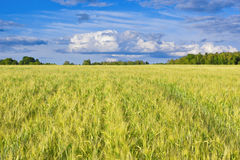 Barley field Royalty Free Stock Photos
