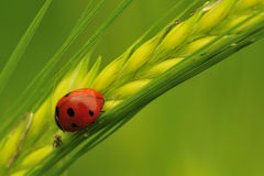 Barley field Ladybird (Coccinella septempunctata). A seven spot ladybird, seen resting on a head of Barley, with the remains of dead aphids Royalty Free Stock Photo