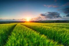 Barley Field Landscape Royalty Free Stock Photo