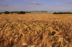 Barley field landscape Royalty Free Stock Photos