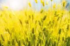 Barley Field,Malt. Barley Field,Malt nature background stock photo