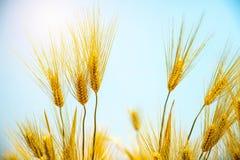 Barley Field,Malt. Barley Field,Malt nature background stock photos