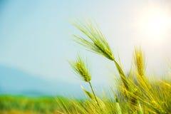 Barley Field,Malt. Barley Field,Malt, nature background royalty free stock photo
