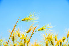 Barley Field,Malt. Barley Field,Malt nature background royalty free stock photography