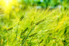 Barley Field,Malt. Stock Photo