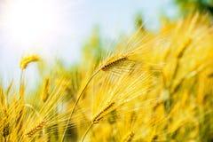Barley Field,Malt. Stock Image