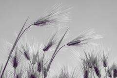 Barley Field,Malt Stock Photography
