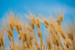 Barley Field,Malt Royalty Free Stock Image