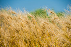 Barley Field,Malt. Nature background royalty free stock images