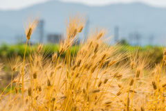 Barley Field,Malt Royalty Free Stock Photography