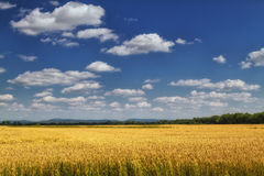 Barley field . Royalty Free Stock Photo