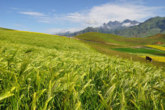 Barley field with mountains Stock Photo