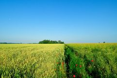 Barley field next to the rapeseed field Royalty Free Stock Photo
