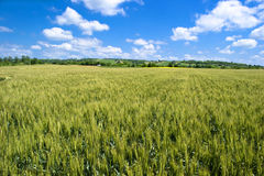 Barley Field. One day in June Stock Images