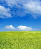 Barley field over blue sky royalty free stock photo