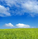 Barley field over blue sky royalty free stock photos