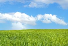 Barley field over blue sky Royalty Free Stock Images