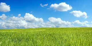 Barley field over blue sky. Barley field over beautiful blue sky Royalty Free Stock Photography