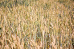 Barley field. Overview of Barley farming backgroud Stock Image
