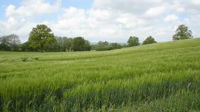 Barley field panning video stock video footage