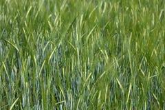 Barley field Royalty Free Stock Photo
