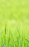 Barley field Royalty Free Stock Photo