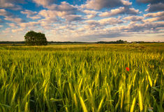 Barley field with red poppy Stock Photos