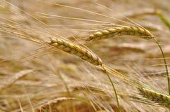 Barley Royalty Free Stock Photos