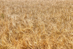 Barley field. Ripe barley in grainfield , nature background Royalty Free Stock Photos