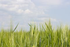 Barley field with ripened green spikes, clear blue sky with clouds. Cereal crops of agricultural plants, a wheat rye barley farmer. `s field. Sunny landscape stock photos