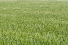 Barley field in the ripening process stock photos