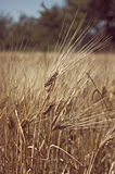 Barley in the field. Royalty Free Stock Photos