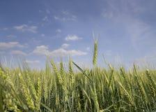 Barley field in springtime Stock Photos