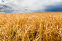 Barley field before the storm Stock Photography