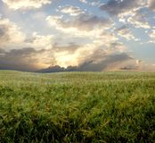 Barley field during stormy day.  Stock Image
