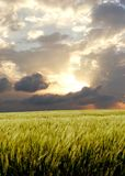 Barley field during stormy day.  Stock Photos